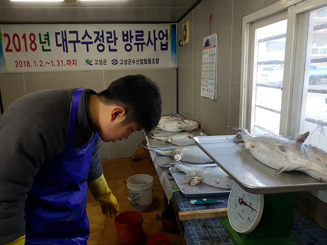 고성군, 겨울철 회귀성 고급어종 '대구' 인공수정란 방류 (1).jpg