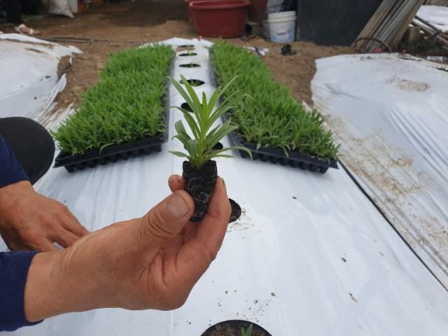 2-2 안개초 농가 새로운 희망을 품다.jpg
