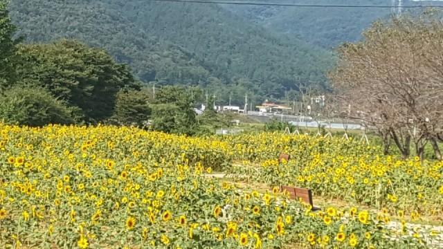 11-3 회화면 신천마을 해바라기축제 주민자축행사로 개최.jpg